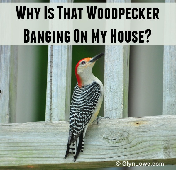 woodpecker banging on house