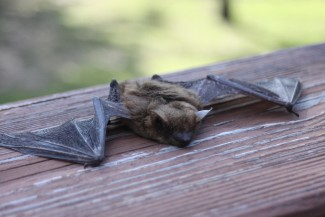 Avoid touching bats, and you'll avoid bat diseases. Photo: greyerbaby / CC by 2.0