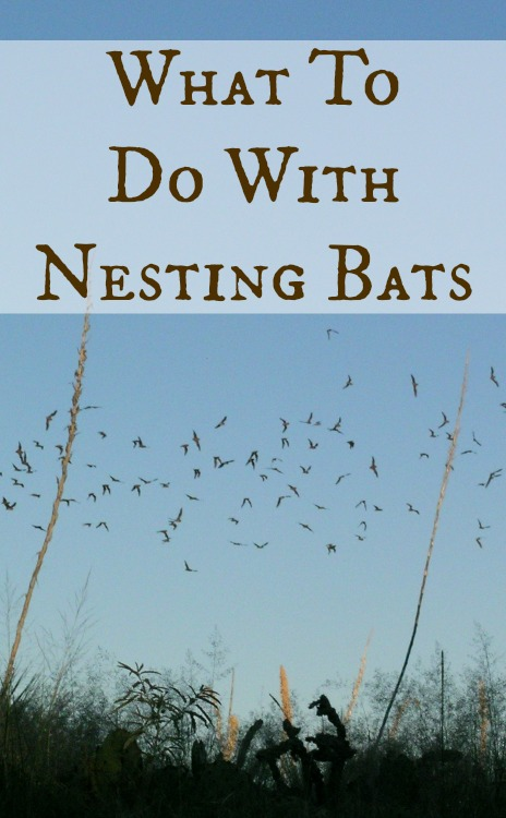 what to do with nesting bats