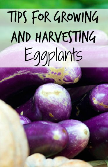 Tips for Raising and Harvesting Eggplant