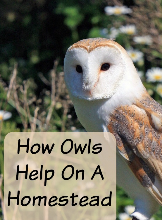Owls: Good to Have on a Homestead or Not?