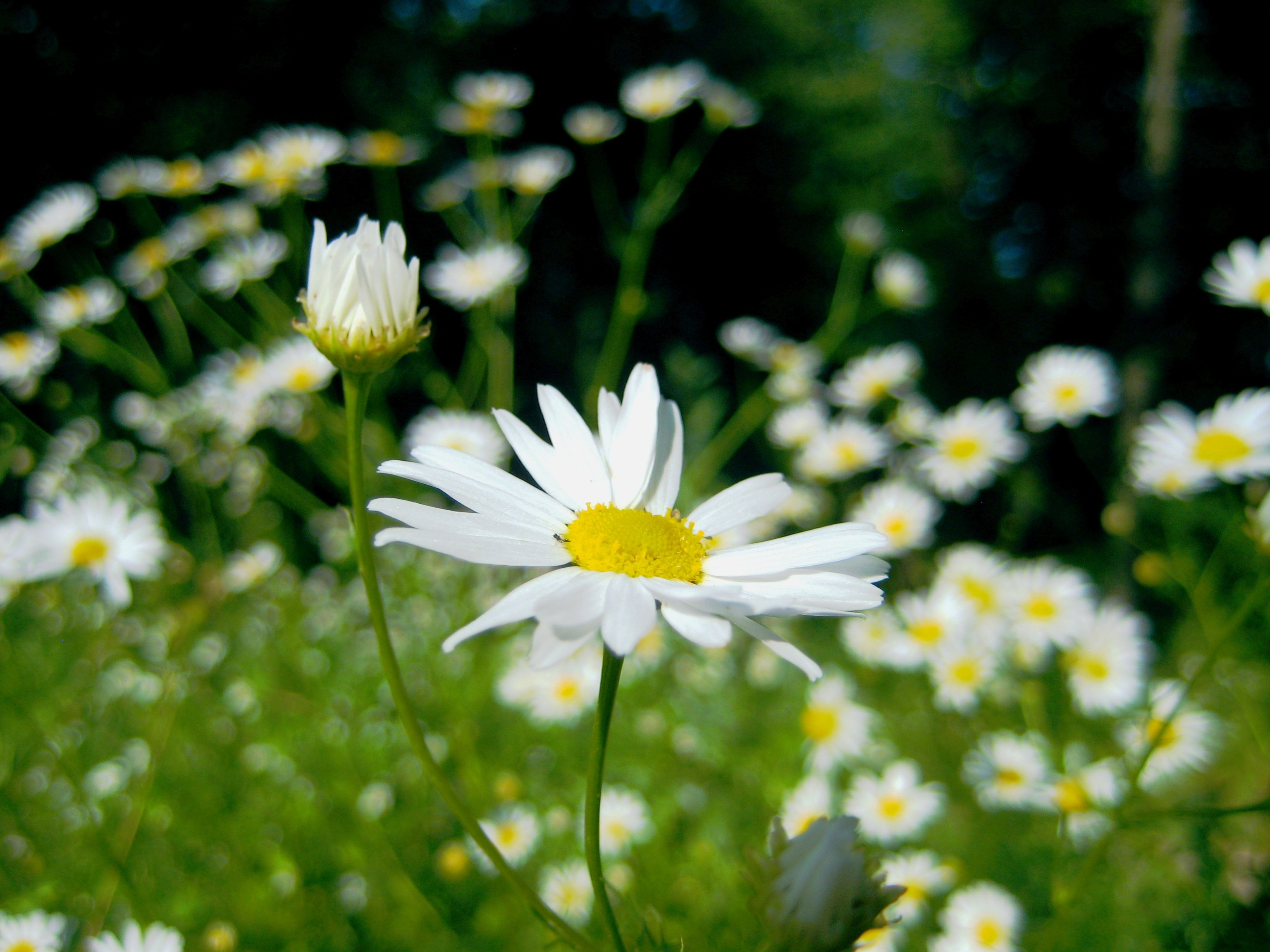 chamomile oil for weight loss