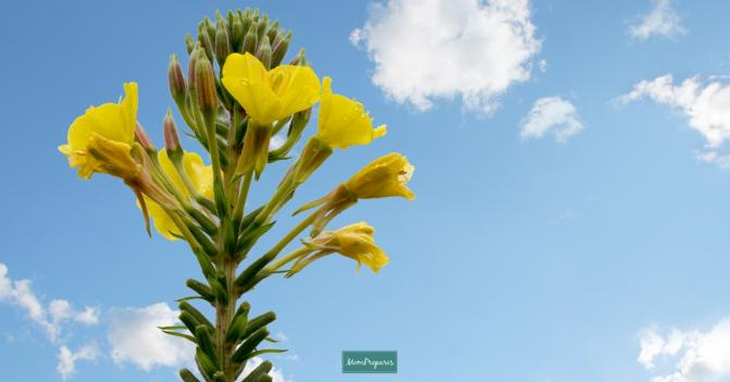 Complete Guide to Evening Primrose Oil (Benefits, Uses and Side Effects)